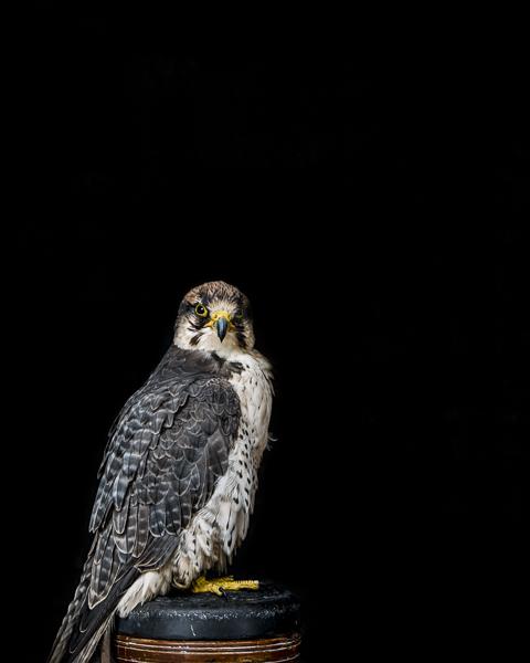 RPTR_002 Portrait of a Lanner Falcon by fine art photographer Paul Coghlin. Limited edition photographic prints.