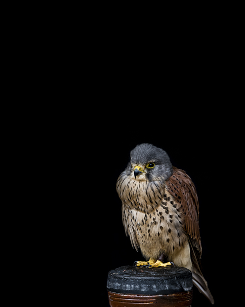 RPTR_003 Young Common Kestrel by fine art photographer Paul Coghlin. Limited edition photographic prints.