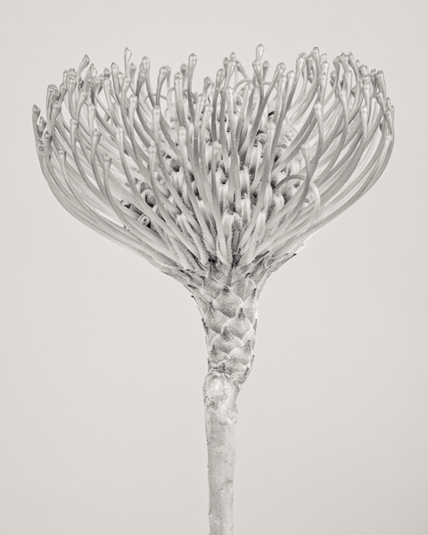 BTNC_008 Leucospermum cordifolium (Protea) II. Limited edition photographic print by Paul Coghlin