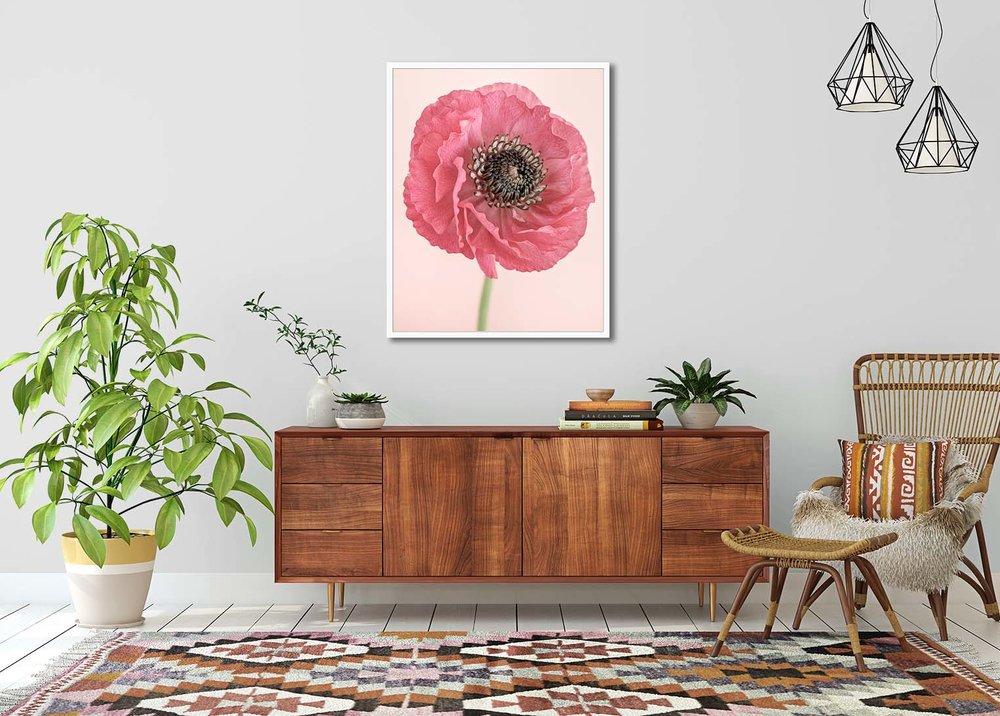 Pink Ranunculus I. Limited edition botanical print by fine art photographer Paul Coghlin.