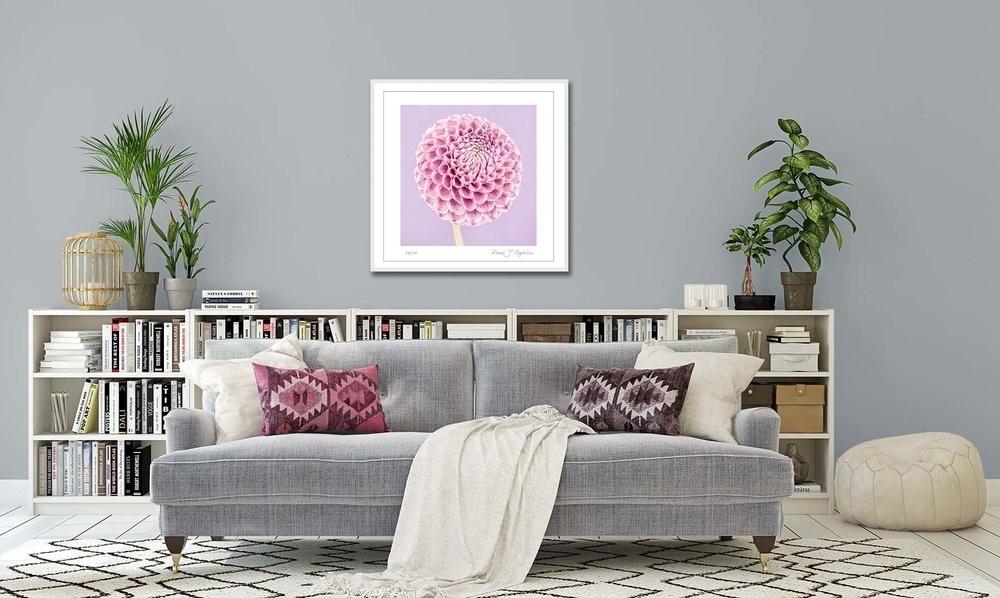 Pink Pompom Dahlia on a purple background. Limited edition floral photographic print by fine art photographer Paul Coghlin.