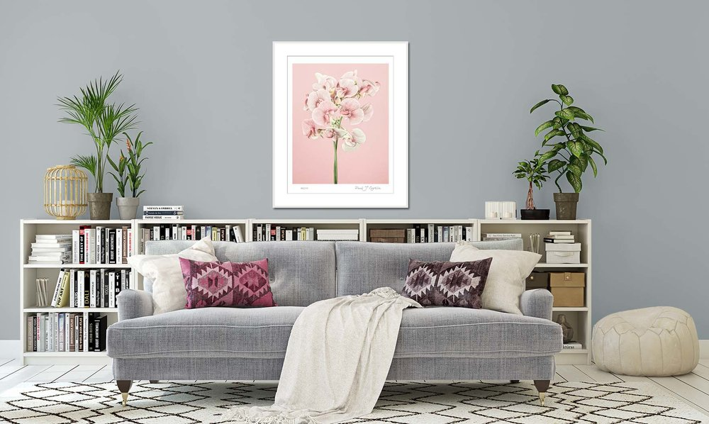 Photographic print of pink sweetpeas on a pink background. Limited edition botanical print by fine art photographer Paul Coghlin