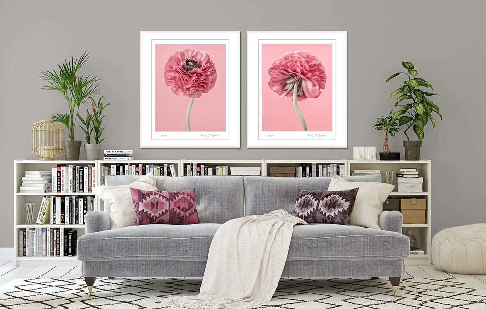 Pink Ranunculus II + III on a pink background. Limited edition botancial prints by fine art photographer Paul Coghlin.