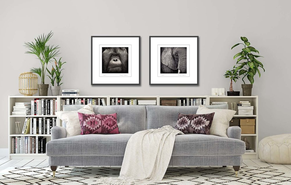 Potrait of an Elephant and potrait of an orangutan 'Regard'. Limited edtion photographic prints of an elephant and an orangutan in black and white, by fine art photographer Paul Coghlin.