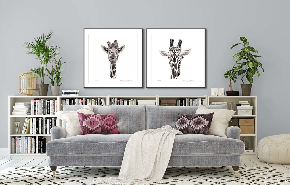 Two black and white photograhic portraits of a giraffe. Limited edtion animal prints by fine art photographer Paul Coghlin.