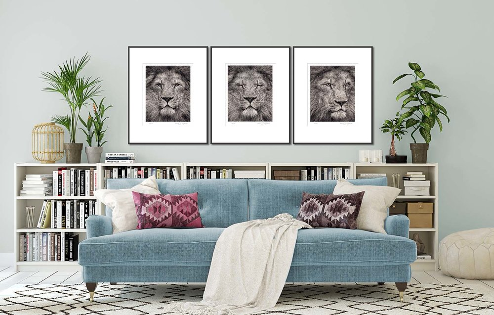 Three photographs of a lion from the Fading From View portrait series. Big cat and animal prints by fine art photographer Paul Coghlin. Limited edition photographic prints.