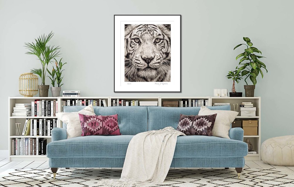 Portrait of a White Bengal Tiger from the Fading From View. Big cat and animal prints by fine art photographer Paul Coghlin. Limited edition photographic prints.