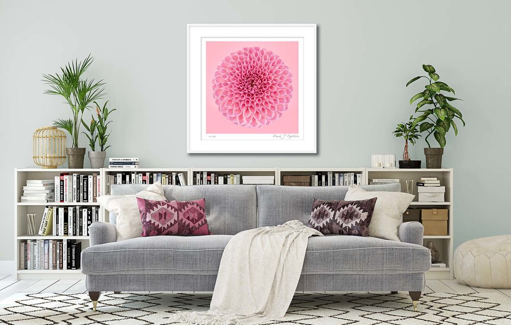 Pink Dahlia Circle IV. Limited edition fine art print of a pink dahlia. Botanical prints and floral studies by fine art photographer Paul Coghlin.
