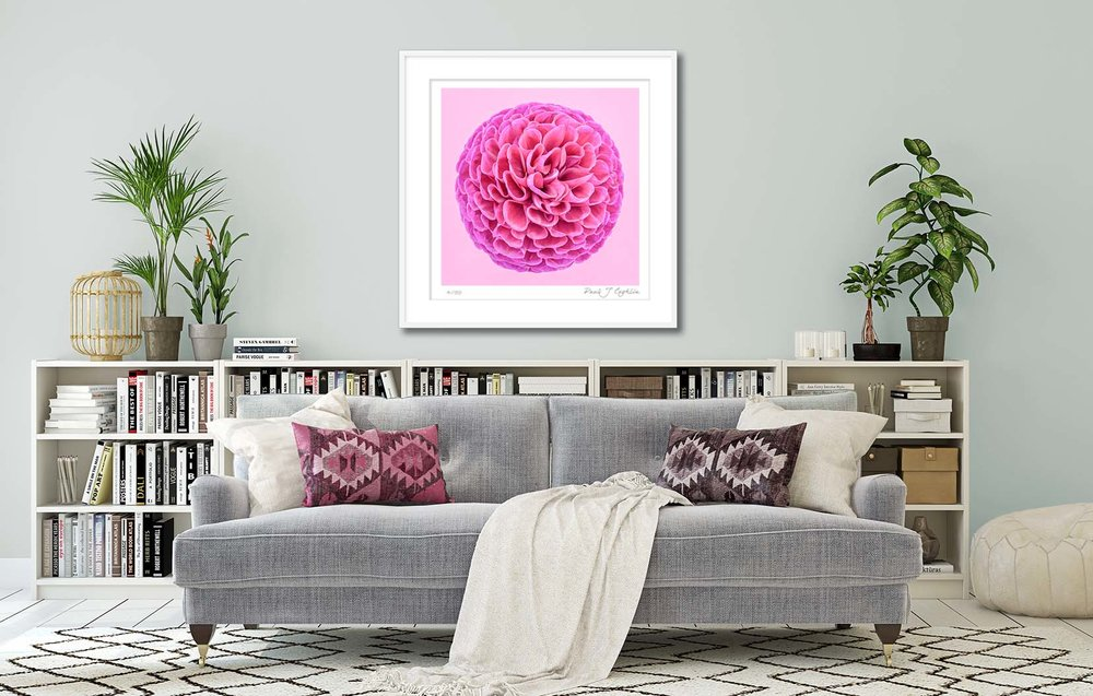 Pink Dahlia Circle III. Limited edition fine art print of a deep pink dahlia. Botanical prints and floral studies by fine art photographer Paul Coghlin.