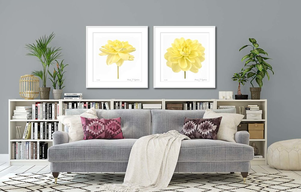 Dahlia 'Glorie van Heemstede' I + II. Limited edition botanical studies of a bright yellow dahlia by fine art photographer Paul Coghlin.