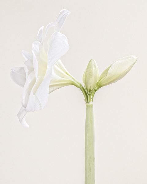 White Nymph II (Amaryllis)