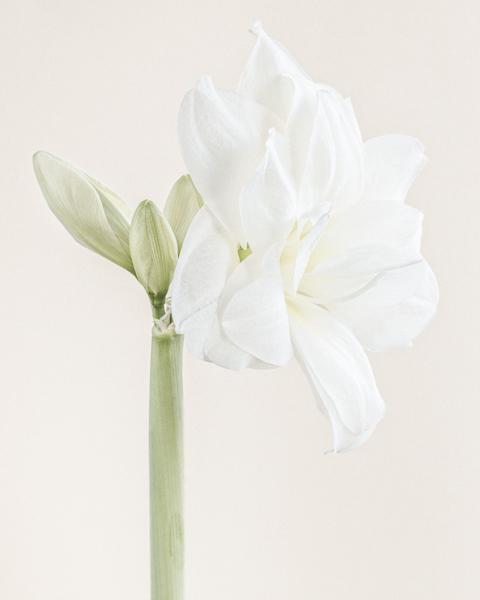 White Nymph I (Amaryllis)