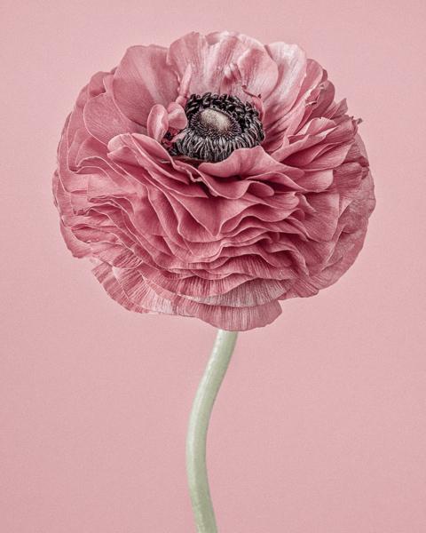 Pink Ranunculus II
