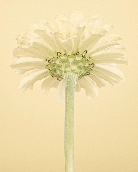Pale Yellow Zinnia II
