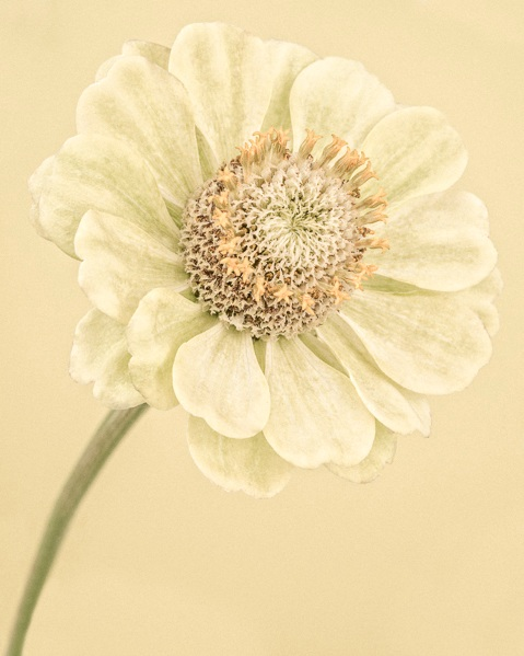 Pale Yellow Zinnia I