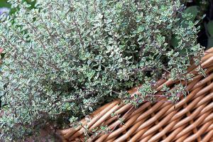 Thyme  Thymus vulgaris