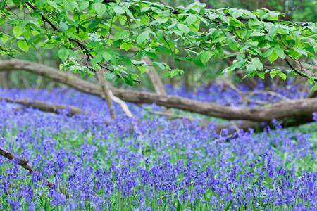 English bluebell  Hyacinthoides non-scripta