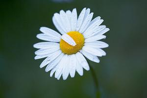Ox-eye daisy  Leucanthemum vulgare