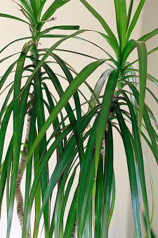 e.g.  Dragon Tree  Dracaena   Marginata