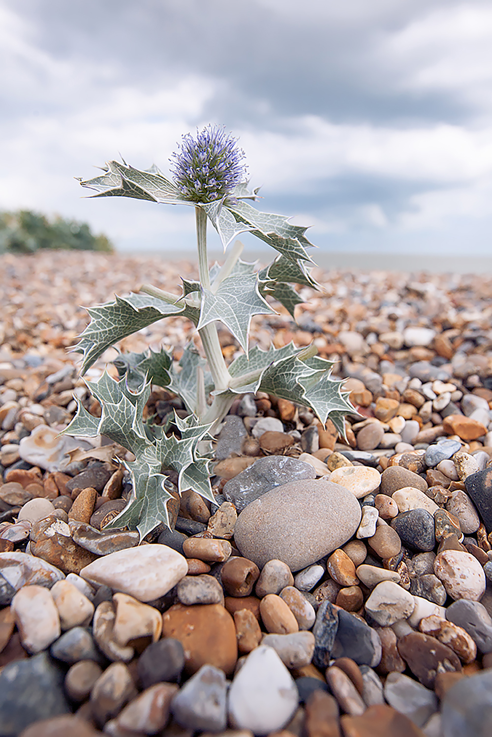 1000wide _sea holly.jpg
