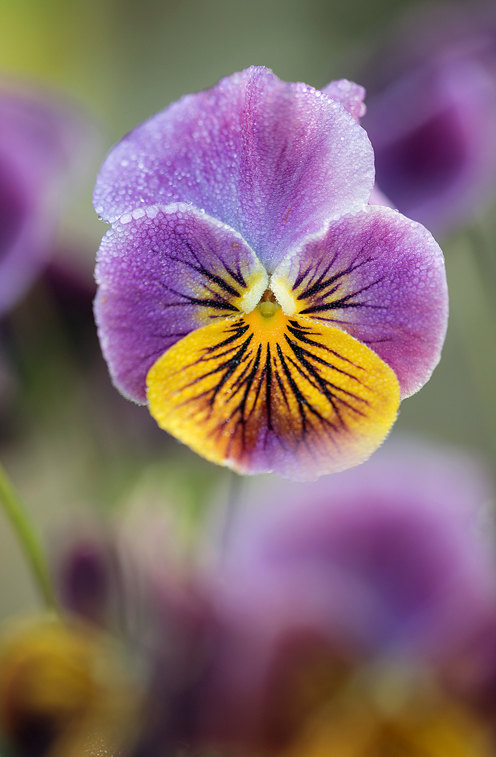 1000_Viola 'Antique shades'_E2A7538.jpg