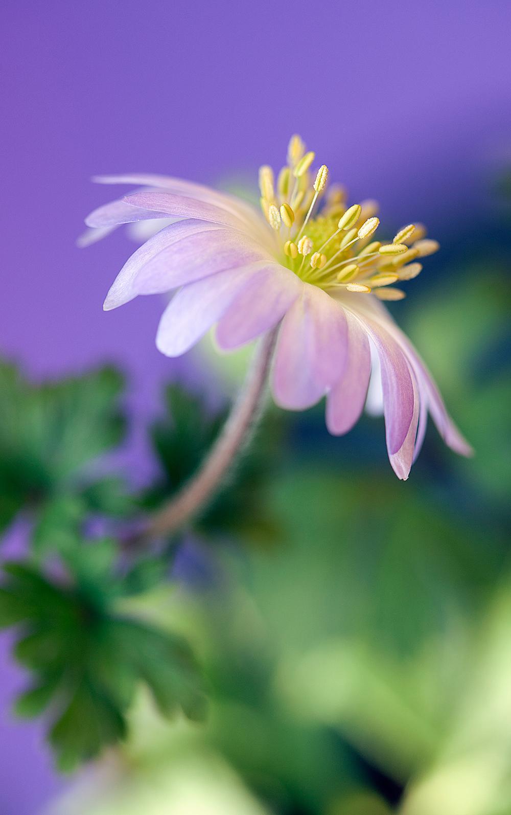1000_anemone blanda_MG_9341.jpg