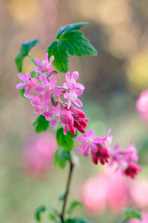 1Ribes sanguineum 'Pulborough Scarlet'_E2A7218.jpg