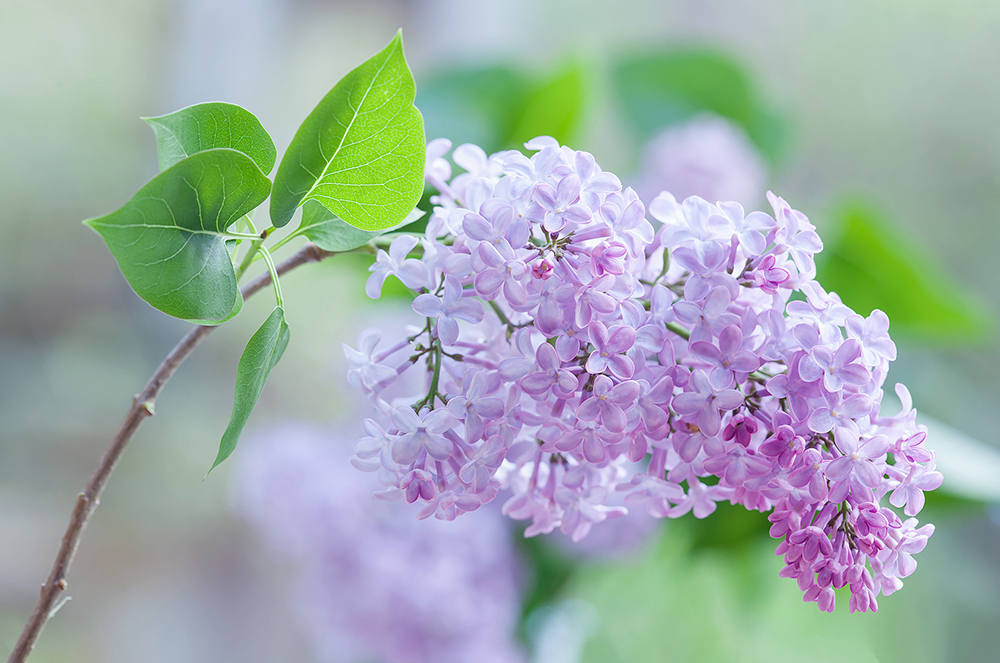 1000_Syringa vulgaris_Lilac_MG_0692.jpg