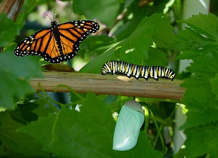 caterpillar butterfly (1).jpg