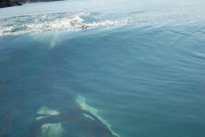 Orca Whale Sea Kayak Trip