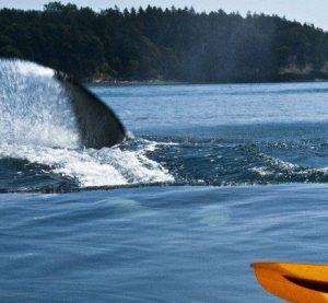Orca Whale Kayak Trip