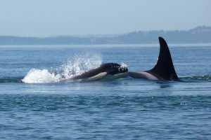 Kayak with Orca Whales