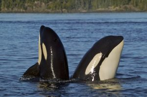 orca-whales-spyhopping_358