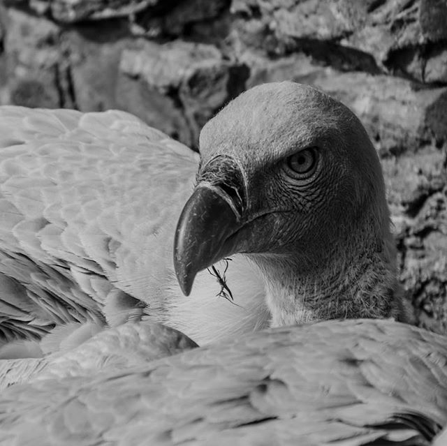 Vultures do no harm to any other living creature. They spend their entire lives cleaning up messes and making the world a healthier place for anything that shares the environment with them.. #TracyAviary . . . . #vultures  #greatnorthcollective #gemsbok #theoutbound #theoutboundcollective #wildernessculture #modernoutdoorswoman #modernoutdoorsman #outsideculture #stayandwander #keepitwild #adventurethatislife #getoutstayoutexplore #getoutstayout #in2nature #rei440project #neverstopexploring #getoutside #exploremore #exploremoreoutdoors #nationalpark #lastbestplace #forgeoverland #xplore #optoutside #optoutsideeveryday #everytrailconnects #mammal