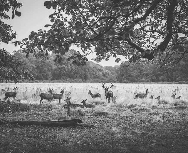 Stunning Sunday stroll ogling the majestic deer in #RichmondPark 😍 . . . #travel4wildlife #greatnorthcollective #gemsbok #theoutbound #theoutboundcollective #wildernessculture #modernoutdoorswoman #modernoutdoorsman #outsideculture #stayandwander #keepitwild #adventurethatislife #getoutstayoutexplore #getoutstayout #in2nature #rei440project #neverstopexploring #getoutside #exploremore #exploremoreoutdoors #nationalpark #lastbestplace #forgeoverland #xplore #optoutside #optoutsideeveryday #everytrailconnects #mammal