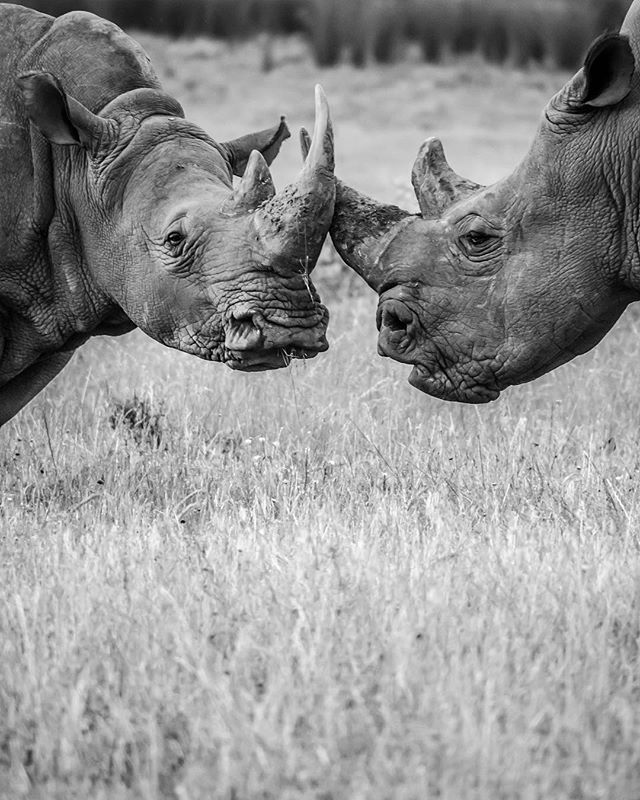 """""""Rhinoceros"""", the name, comes from the Ancient Greek """"ῥῑνόκερως"""", meaning """"horn nose"""". Rhinos are a critically endangered species.. . . .  #greatnorthcollective #theoutbound #theoutboundcollective #wildernessculture #modernoutdoorswoman #modernoutdoorsman #outsideculture #stayandwander #keepitwild #adventurethatislife #getoutstayoutexplore #getoutstayout #in2nature #rei440project #neverstopexploring #getoutside #exploremore #exploremoreoutdoors #nationalpark #lastbestplace #forgeoverland #xplore #optoutside #optoutsideeveryday #everytrailconnects #mammal #rhinoceros #africa #rhino"""
