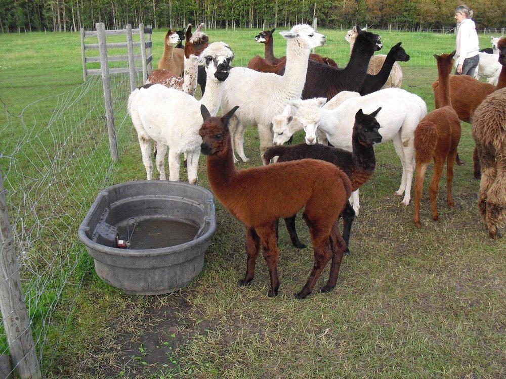 cj alpacas.jpg