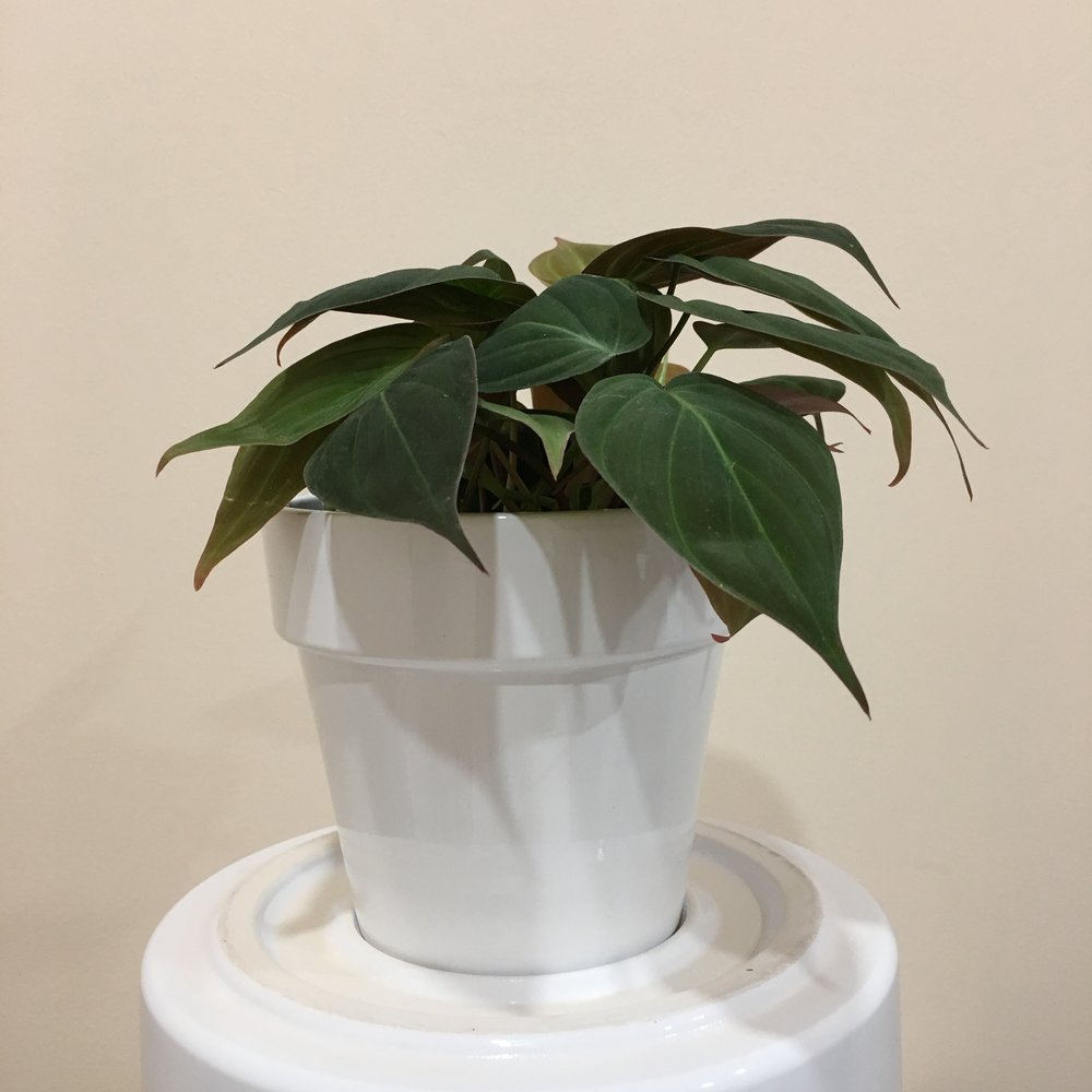 Philodendron Mican - Light - Bright, indirect light.Water - The soil should be kept moist, allowing it to dry a bit in between watering. Watering can be done once a week to every ten days.Origin - Caribbean, Colombia, Venezuela, and AsiaFun Fact - The leaves of micans feel like velvet.