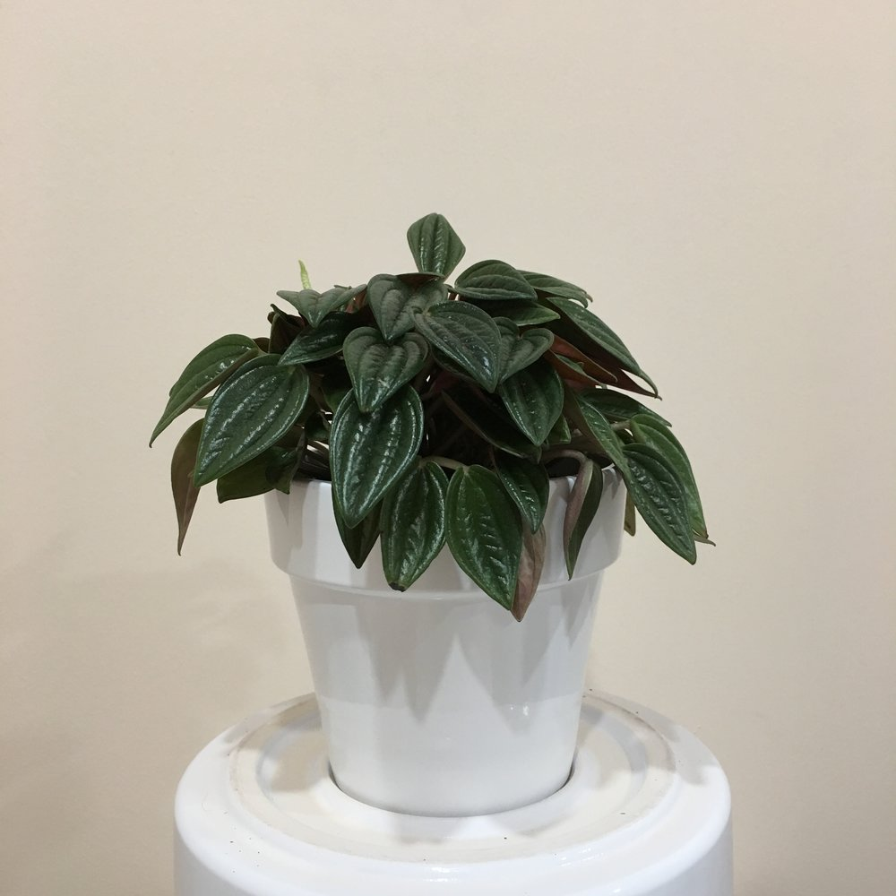 Peperomia Rosso - Light - Moderate, indirect light.Water - The soil should be kept moist, allowing it to dry a bit in between watering. Watering can be done once a week to every ten days. Peperomia rosso also require high humidity, so you can mist the foliage daily.Origin - BrazilFun Fact - There are over 1,000 different types of peperomia.