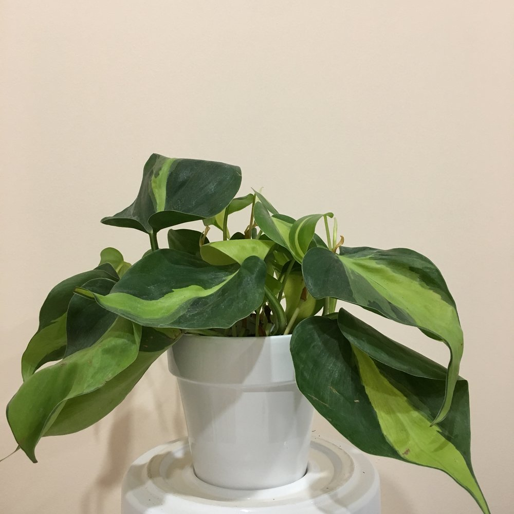 Philodendron Brasil - Light - Moderate, indirect light.Water - The soil should be kept moist, allowing it to dry a bit in between watering. Watering can be done once a week to every ten days. Philodendron brasil also require high humidity, so you can mist the foliage daily.Origin - South America
