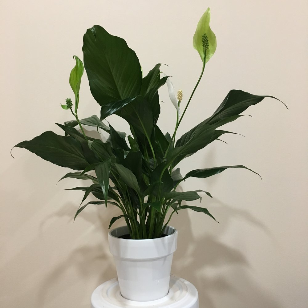 Peace Lily - Light - Low, indirect light.Water - The soil should be kept moist, allowing the plant to dry 1 inch in soil depth in between watering. Watering can be done every few days.Origin - Colombia, VenezuelaFun Fact - Peace lilies are excellent at air purification. Chemicals they can clean from the air include; benzene, formaldehyde, trichloroethylene, xylene, toluene, and ammonia.