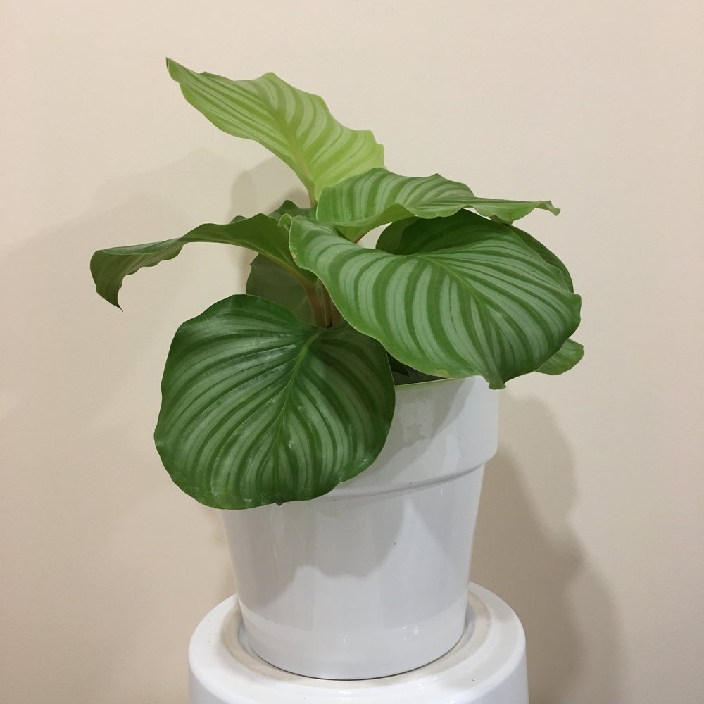 Calathea Orbifolia - Light - Bright, indirect light.Water - The soil should be kept moist, allowing the plant to dry 1 inch in soil depth in between watering. Watering can be done once a week to every ten days. Calathea orbifolia also require high humidity, so you can mist the foliage daily.Origin - South AmericaFun Fact - Calatheas are a fantastic plant to purify air, and have eye catching foilage. Calatheas are called 'living plants' because they close their leaves at night. There is a small joint between the leaf and the stem, and different amounts of light move the leaves.