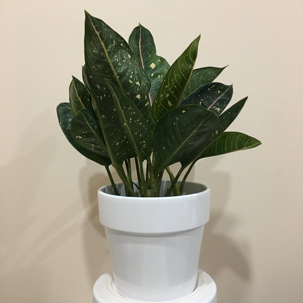 Algonema Pink Moon - Light - Low, indirect light.Water - The soil should be kept moist, allowing the plant to dry slightly in between watering. Watering can be done once a week to every ten days.Origin - Southeast AsiaFun Fact - This plant has striking bright pink spots and stripes, and can produce a small flower similar to a peace lily, consisting of a spathe and spadix.