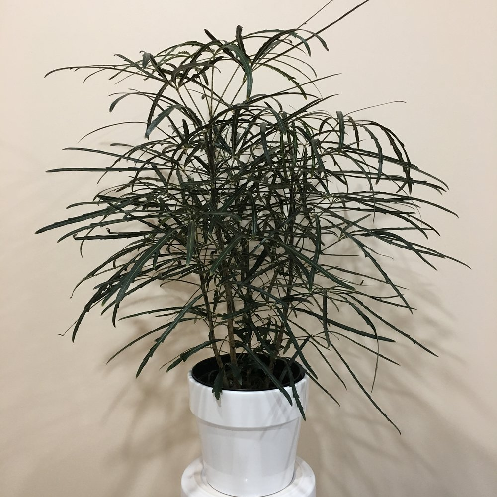 False Aralia - Light - Bright to moderate, indirect light.Water - The soil should be kept moist, allowing the plant to dry 1 inch in soil depth in between watering. Watering can be done once a week to every ten days. False aralia also require high humidity, so you can mist the foliage daily.Origin - New CaledoniaFun Fact - False aralia do not like to be moved. Doing so can cause the leaves to fall off, so make changes gradual.