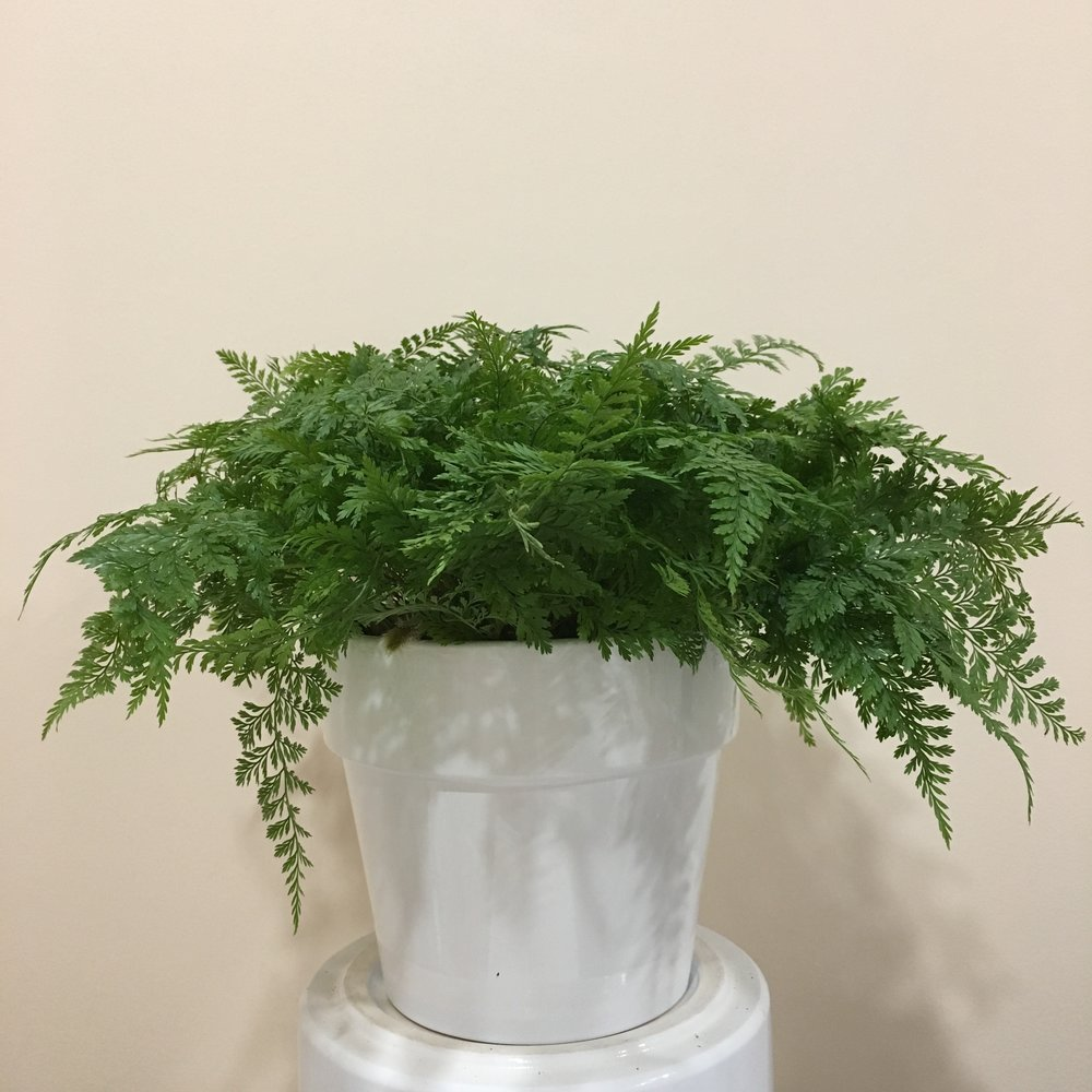 Rabbitfoot Fern - Light - Bright, indirect light.Water - Water the plant lightly every few days to ensure the soil is moist, but not soggy. Rabbitsfoot ferns also require high humidity, so you can mist the foliage daily.Origin - FijiFun Fact - Rabbitsfoot ferns derive their name from the furry rhizomes that grow outside of the pot, resembling a rabbits foot. These rhizomes collect moisture from the air.