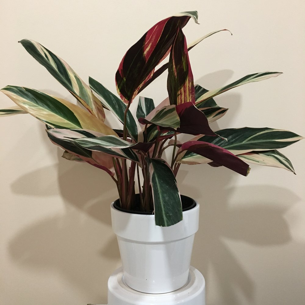 Stromanthe - Light - Bright, indirect light.Water - The soil should be kept moist, allowing it to dry a bit in between watering. Watering can be done once a week to every ten days. Stromanthe also require high humidity, so you can mist the foliage daily. A tray filled with pebbles and water under the plant can also help provide humidity.Origin - BrazilFun Fact - Stromanthe's nickname is the never, never plant, and is part of the Maranta family.