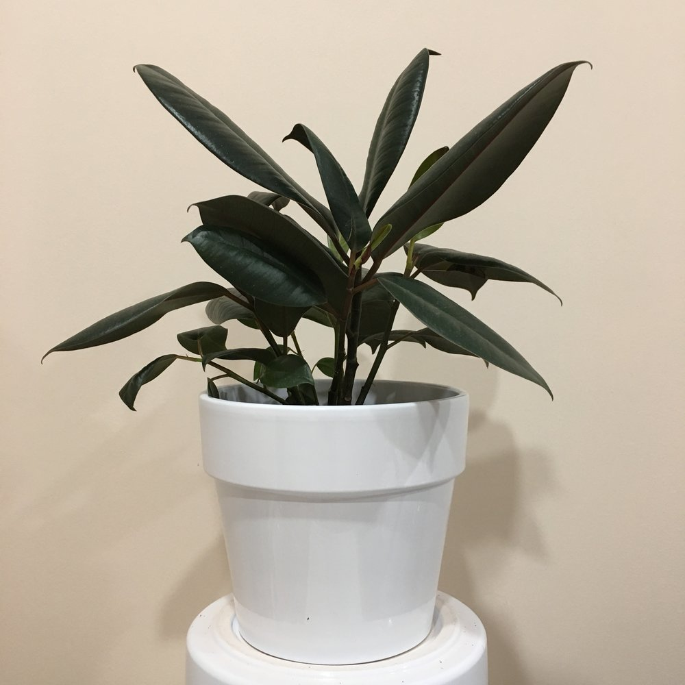 Ficus Elastica (Rubber) - Light - Bright, indirect lightWater - The soil should be kept moist, allowing it to dry a bit in between watering. Watering can be done once a week to every ten days. Rubber plants also require humidity, so you can mist the foliage daily.Origin - India, Nepal, China, Malaysia, and others.Fun Fact - Rubber plants produce a milky sap that can be retrieved once they over six years in age.