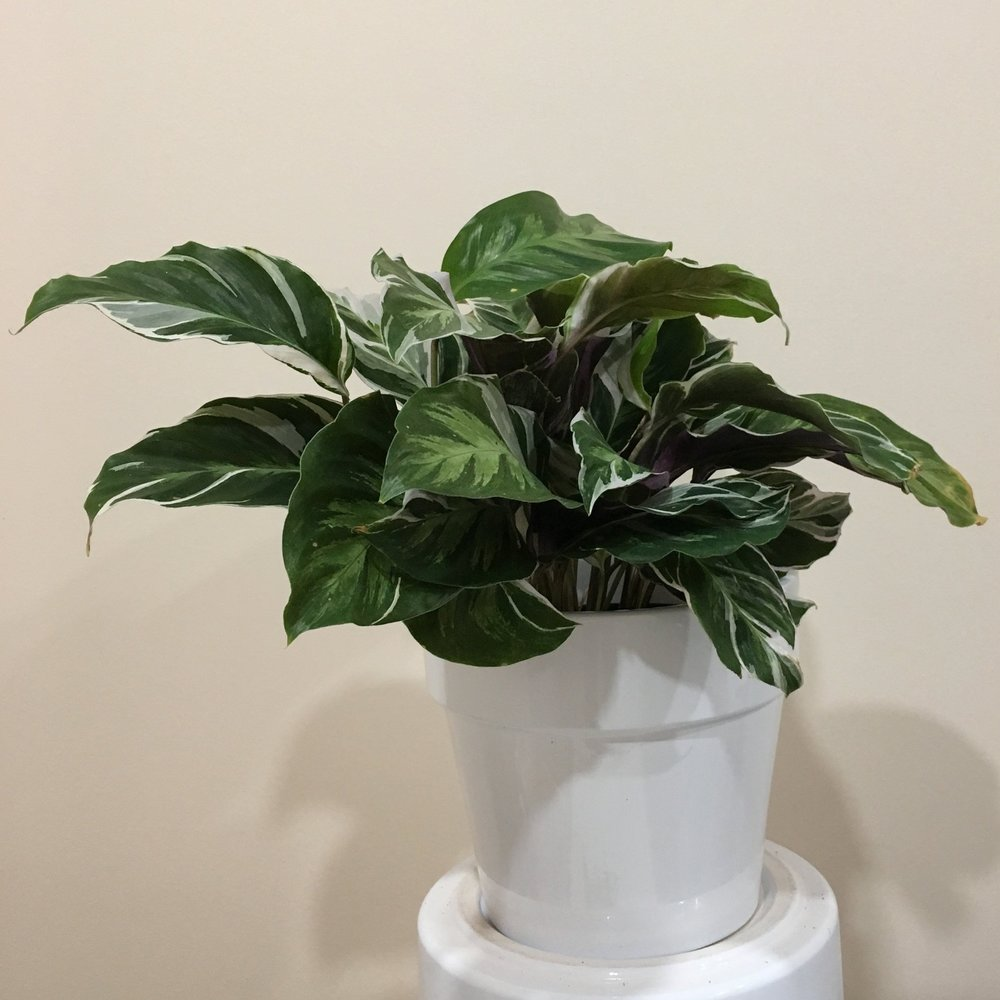 Calathea White Fusion - Light - Bright, indirect light. Be careful not to expose the plant to too much light, otherwise the tips of the leaves will start to turn brown and burn.Water - The soil should be kept moist, allowing it to dry a bit in between watering. Watering can be done once a week to every ten days. Calathea white fusion also require high humidity, so you can mist the foliage daily.Origin - Brazil, Guyana, Colombia, and NicaraguaFun Fact - The leaves of the white fusion plant look like an artist painted brush strokes of white, green, and lilac on them.