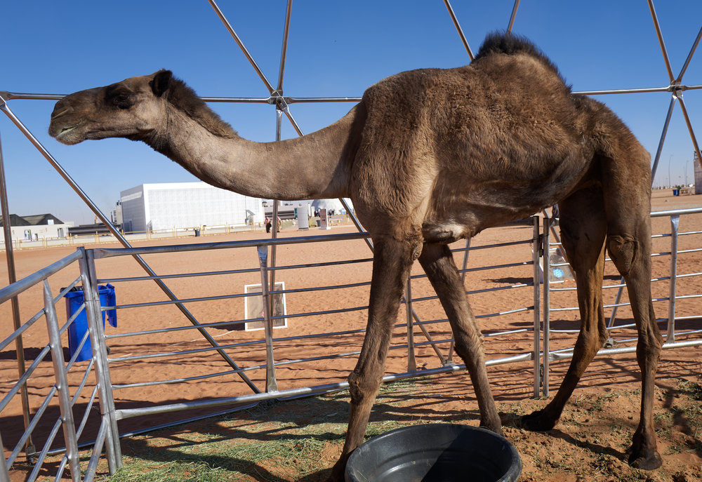 World's Tallest Camel