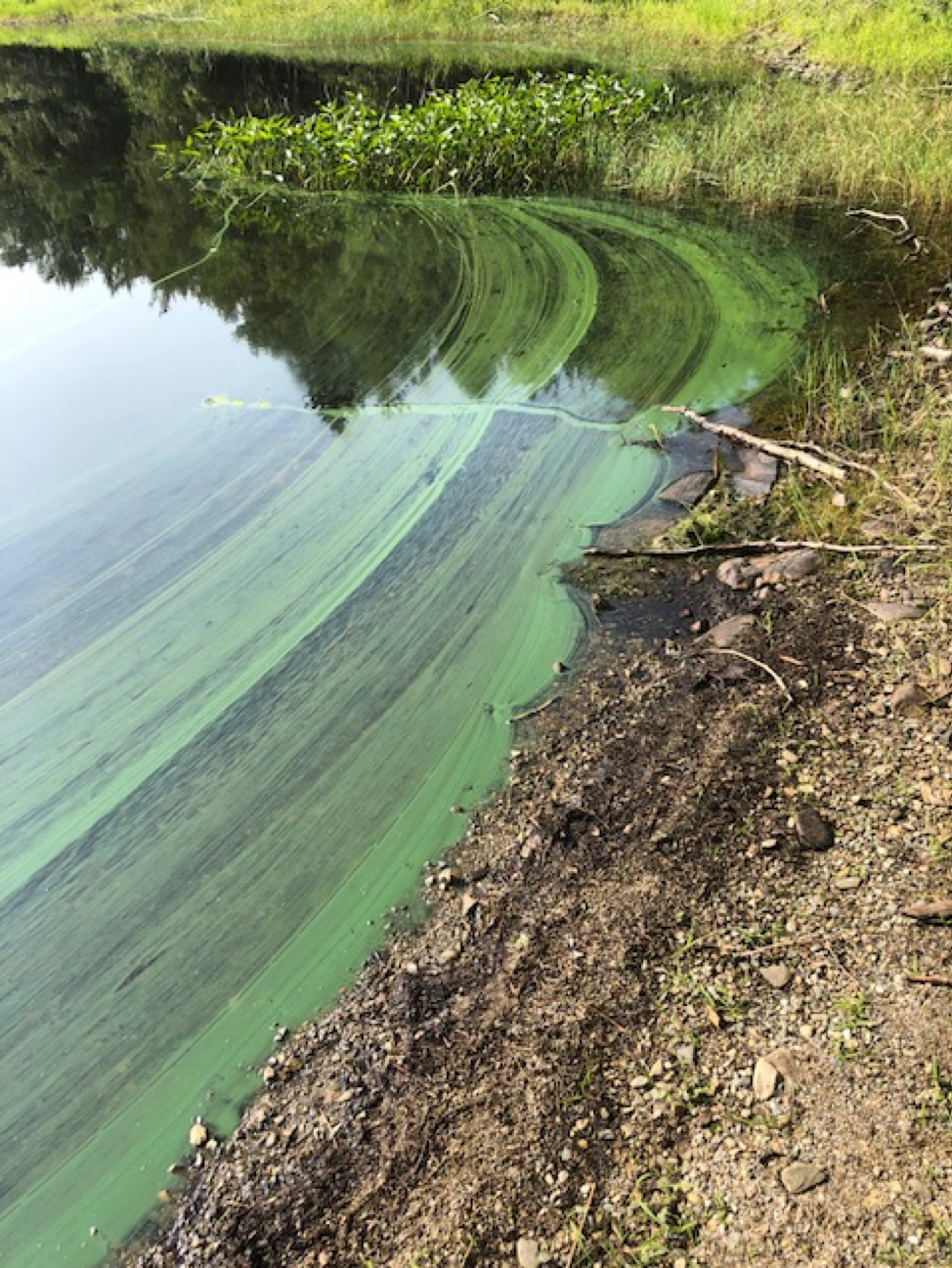 Late-summer algal bloom present at Fanning Lake, NS.